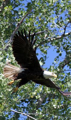 Bald Eagle In Flight ★。☆。JpM ENTERTAINMENT ☆。★。