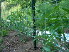 Google Image Result for http://gardenplotter.com/rospo/blog/uploaded_images/TomatoTrellis-724485.jpg