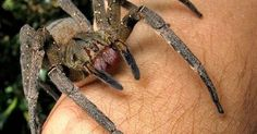 10 Reasons Why The Wandering Spider Is Your New Nightmare. Its called the wolf spider n its a very nurturing mother