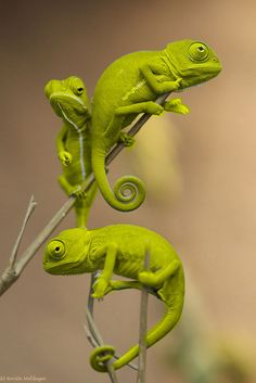 Chameleons! Or as my 4 year old says, chameliards! I think that's a mixture of chameleon/lizards!