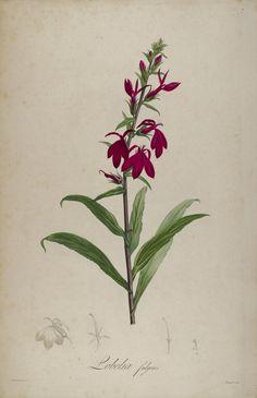 Lobelia(1812). Plate from 'Description des Plantes Rares.' Author Aime Bonpland. Missouri Botanical Garden archive.org