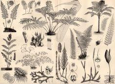 1898 Ferns & Horsetails Antique Print Vintage by Craftissimo, €14.95