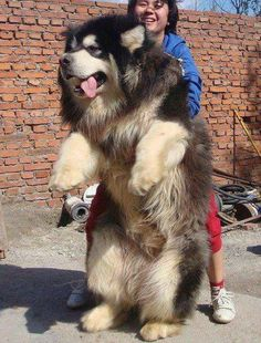 A big dog gets a giant cuddle -   #dogs