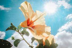 Photography of Yellow Hibiscus Under Sunlight · Free Stock Photo Hibiscus Bush, Hibiscus Garden, Yellow Hibiscus, Hibiscus Flowers, Diy Flowers, Outdoor Screens, Stunningly Beautiful, Free Stock Photos, Free Photos