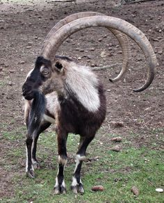 Bezoar Mountain goat origin of today's goat Animals With Horns, Large Animals, Animals And Pets, Cute Animals, Smiling Animals, Exotic Animals, Animal Fun, Beautiful Creatures, Animals Beautiful