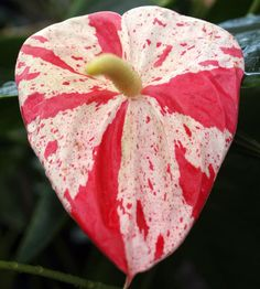 anthurium - the detail on the petal is wonderful