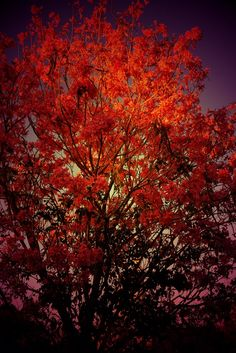 The tree on fire #iphoneography #photography #florida