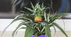 Die  Anzucht einer neuen  Ananas-Pflanze  aus dem Blattschopf der Ananas-Frucht ist kinderleicht. Hier lesen Sie, wie sie funktioniert und was Sie dafür brauchen.