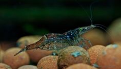 Paratya australiensis: Glass Shrimp