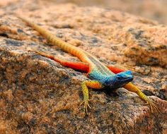my newest obsession!! just learned about these thursday. broadley's flat lizard. <3