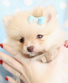 pretty pomeranian puppy