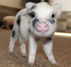 Mini Pig Cute Baby Pigs, Cute Baby Cow, Baby Piglets, Cute Piglets, Baby Animals Super Cute, Cute Little Animals, Cute Funny Animals, Baby Farm Animals, Baby Animals Pictures