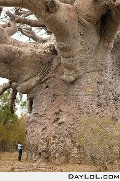 """Baobab Tree. Native to Madagascar. Also found in Africa, Australia, India and Tanzania. Also known as the """"Upside Down Bottle Tree"""". It has become """"endangered""""."""