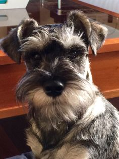 """Such the """"Schnauzer Face"""" Such a Sweetie!"""