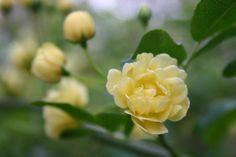 Climbing Rose, Arbour of Kitchen Garden, Heide, MOMA