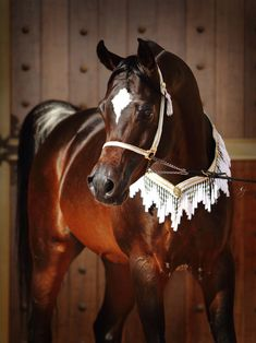 Royal Colours :: Dubai Arabian Horse Stud