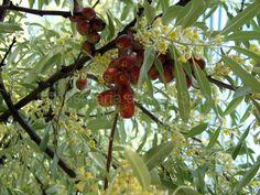 Russian olive tree - Elaeagnus angustifolia