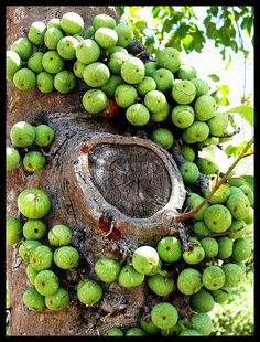 Wild Figs, The fruits (syconia) of the Knobbly Fig (Ficus sansibarica), form in pairs on woody knobs directly on the tree trunk & mature branches ! Exotic Food, Exotic Fruit, Tropical Fruits, Fruit Plants, Fruit Garden, Fruit Trees, Weird Fruit, Strange Fruit, Fruit And Veg