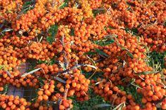 Golden Orchard Sea Buckthorn berries, Wingham Ontario
