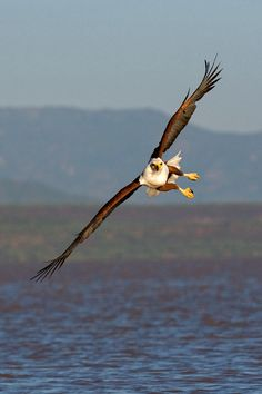 African fish Eagle by ~00Tiger00