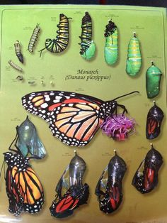 Beautiful diagram of Monarch Life Cycle