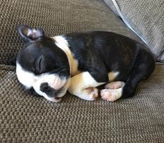 Boston Terriers are one of the cutest breeds out there - especially when they are puppies. This picture alone captures the innocence in their little faces :)