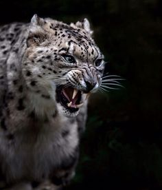 Snow Leopard by Sue Demetriou