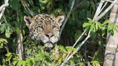 Jaguar escaped from the zoo and killed a bunch of animals and now Im sad!