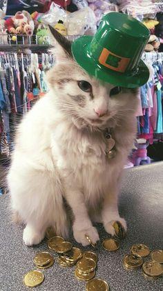 My little leprechaun.  Mayhem _#saintpatricksdaycat #mayhenkitty #mayhemholidays #mayhemcat #mayhamazkidznmore