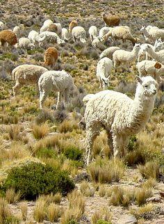 Alpacas, Peru   - Explore the World with Travel Nerd Nici, one Country at a Time. http://TravelNerdNici.com