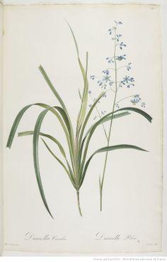 Les Liliacées, par P.-J. Redouté, Paris,1802-1816, Bibliothèque nationale de France