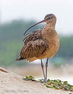 Long-billed Curlew, Numenius americanus, found in North America
