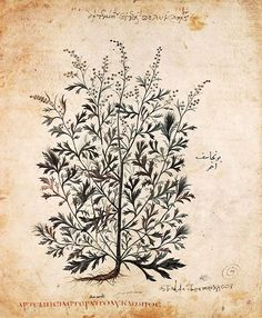 Mugwort (Artemisia vulgaris) from the Vienna Dioscorides, 500CE    Mugwort, beloved since ancient times, has endless magical uses and can be smoked, drunk as a tea or beer or wine flavouring, burned as incense or smudge, infused into oils or flying ointments, and added to magical sachets or potions.     It is closely related to wormwood and, like its relative, contains the active alkaloid thujone. It is mildly mind-altering and has long been used as a visionary herb to enhance psychic…