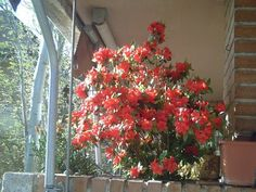 Cuidados de las preciosas Azaleas