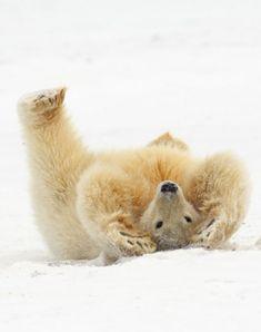 Kaktovik - Alaska - Polar Bear (by Impisi)