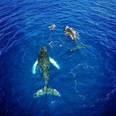 Humpbacks feed only in summer in polar waters and migrate to tropical or subtropical waters to breed and give birth in the winter.  This is a shot of 3 whales with the calf leading the way off the coast of Oahu. by steindezine