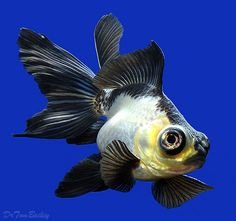 another panda goldfish