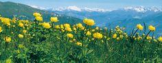 Südtirol: Einzigartige Alpenblumen  Fahrt nach San Valentino. Blumenwanderung durchs Naturschutzgebiet nach Corna Piana (1.736 m). Abstieg zum Rifugio Graziani. Bei Malga Campo beobachten wir Murmeltiere