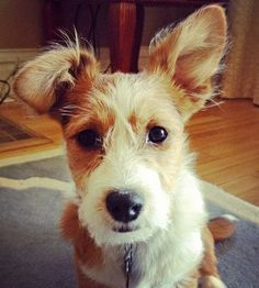 this handsome boy is a Maltese / Pembroke Welsh Corgi mix---Omg I found a maggie @Dani Beaudry