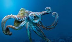 blue octopus tentacles ocean - Google Search