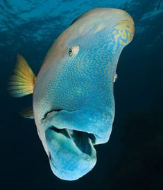 Maori (humphead) wrasse Chelinus undulatus at Opal Reef Great Barrier Reef Australia. Photo by David Doubilet