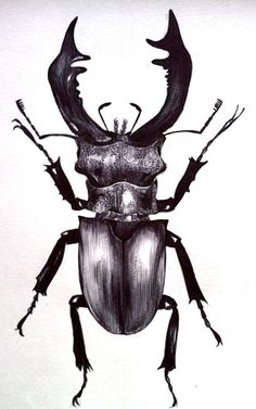Scientific Illustration | esacarter: esa: Stag Beetle Biro Sketch by Emily Carter
