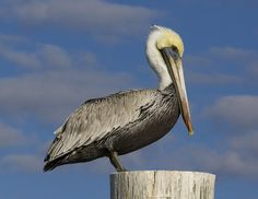 +waterbird paintings | Brown Pelican On Post Photograph - Brown Pelican On Post Fine Art ...