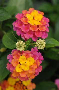 """About the Lantana Flower Lantana -""""Landmark Sunrise Rose"""" - It starts yellow, then matures to coral and then to pink!Lantana -""""Landmark Sunrise Rose"""" - It starts yellow, then matures to coral and then to pink! Lantana Flower, Lantana Plant, Monrovia Plants, Flower Beds, My Flower, Cactus Flower, Birth Flower, Container Gardening, Succulents"""