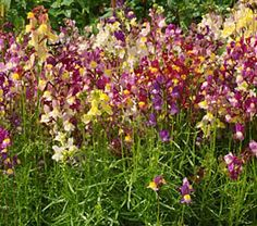 Baby Snapdragon Seeds, Linaria maroccana - Wildflower Seed from American Meadows