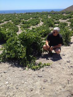 """An amused Yiannis of Gaia Wines goes """"under the hood"""" of an Assyrtiko plant. You can see how the low-to-the-ground vines and leaves protect the grapes from sun and wind."""