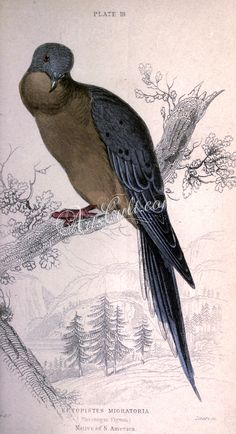 Passenger Pigeon, ectopistes migratoria      ...