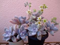 lilac colored succulents