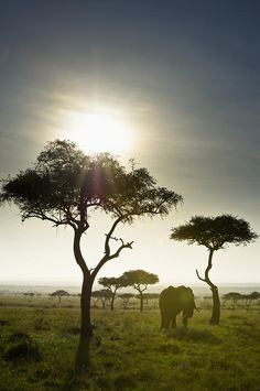 An Elephant Walks Among The Trees Kenya  Art Print...can someone take me here please???