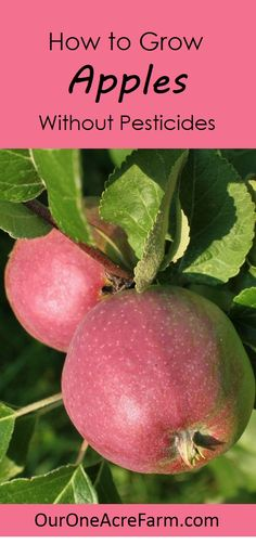 Grow your own organic apples! Plant trees in either spring or fall. Explains how to: choose disease resistant varieties, use permaculture techniques like guilding, prune branches and thin flowers, bag young fruit to protect from pests, and identify nutrient deficiencies.                                                                                                                                                      More